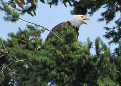 Bellingham-Eagle