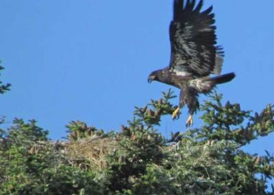 Eaglet-first-flight