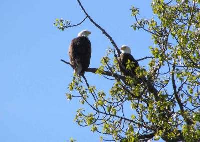 Skagit-Eagles
